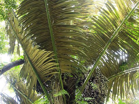 野生桄榔林旅游景点图片