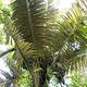 野生桄榔林