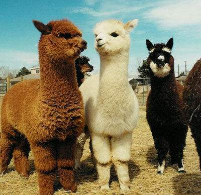 全国羊驼日(National Alpaca Day)