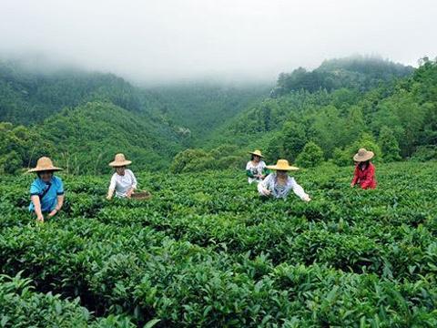 六堡茶园旅游景点图片