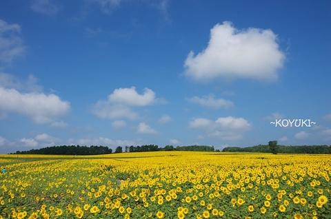 北龙町向日葵之乡的图片