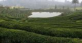 青竹山茶园