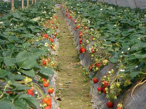顺利草莓采摘园旅游景点图片