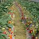 顺利草莓采摘园