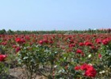 香薇玫瑰庄园