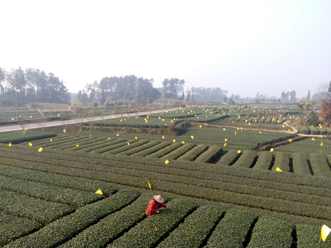 嘉竹绿茶园旅游景点图片