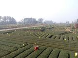 嘉竹绿茶园