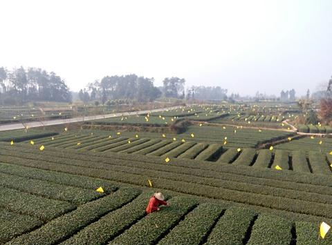 嘉竹绿茶园的图片