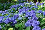 天上山的紫阳花