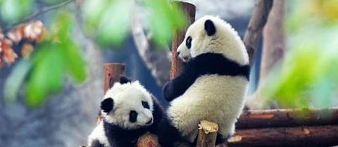 熊猫林的图片