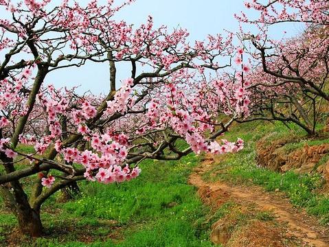 松林桃花的图片