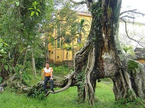 勐养象形树旅游景点图片