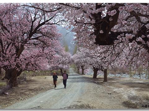 大同乡杏花旅游景点图片
