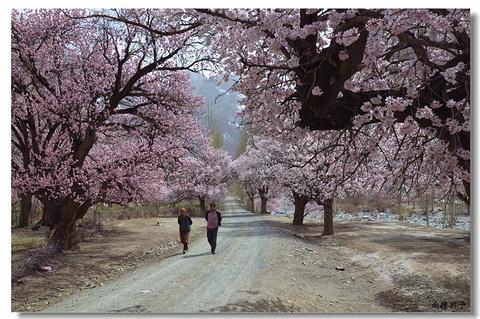 大同乡杏花的图片
