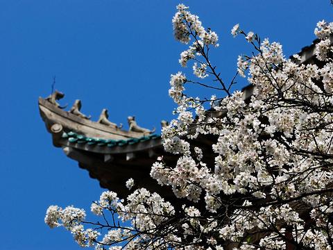 武大樱花旅游景点图片