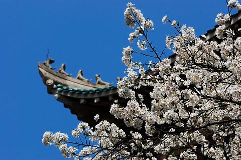 武大樱花的图片