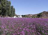 梦幻紫海香草庄园