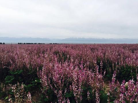 琼库什台紫花坡旅游景点图片