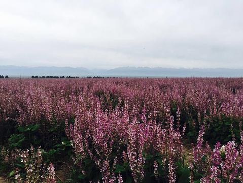 琼库什台紫花坡