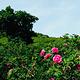 千亩玫瑰园景区