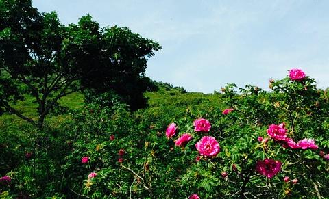 千亩玫瑰园景区的图片