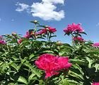 妫州牡丹园