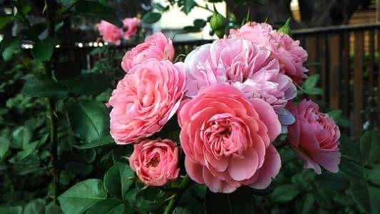 台北玫瑰园春季玫瑰展
