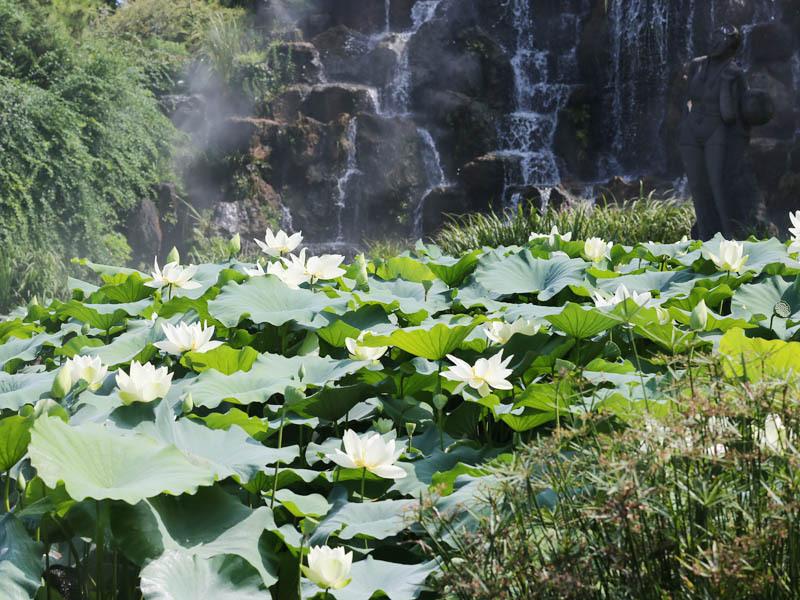 翰林公园莲花节