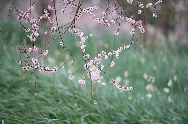翰林公园梅花节