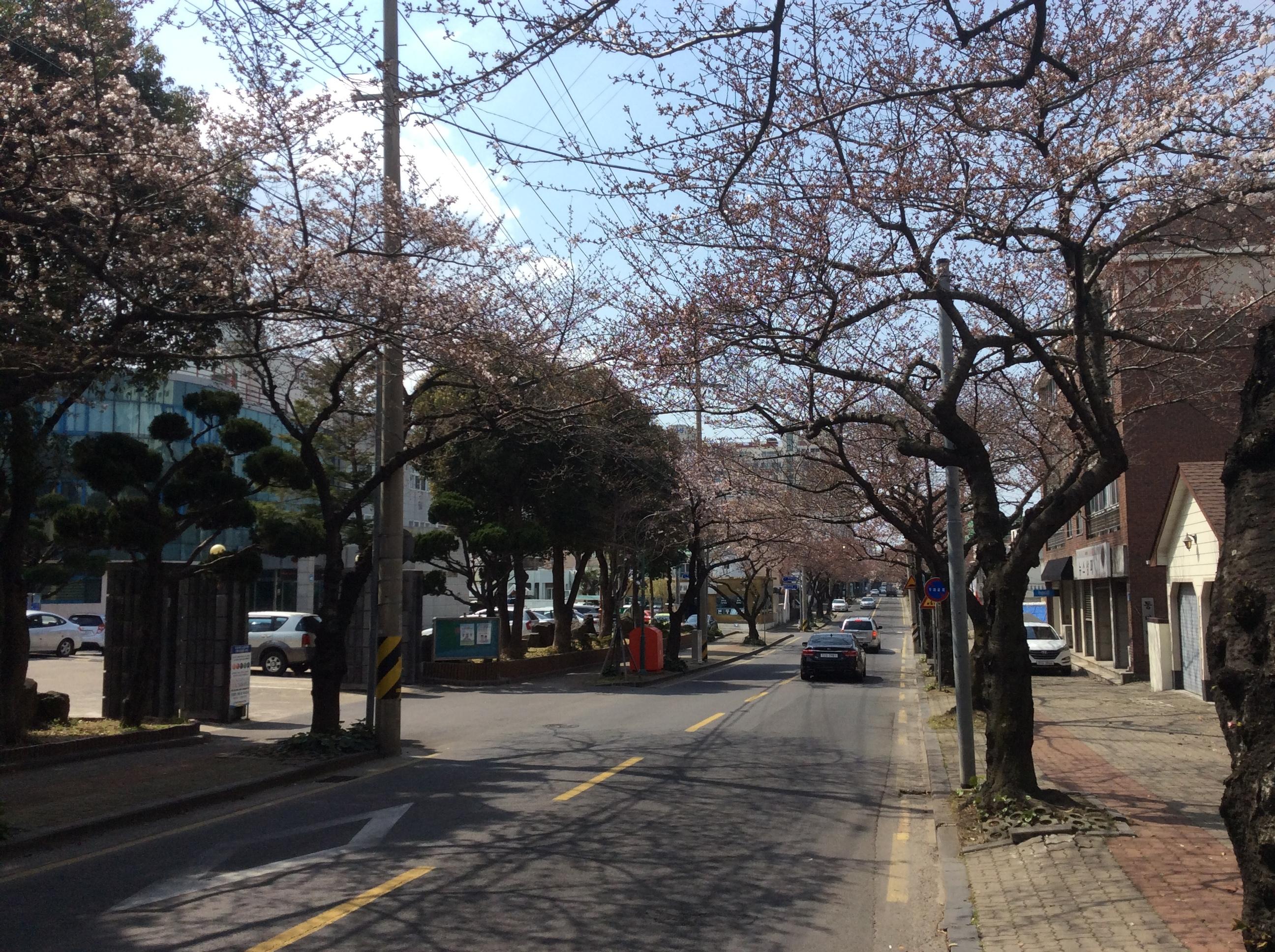 济州大樱花节