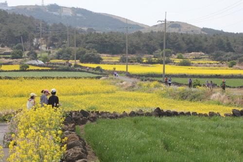 济州油菜花节