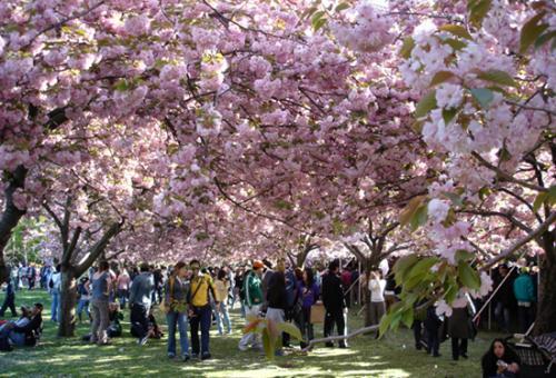 布鲁克林樱花节