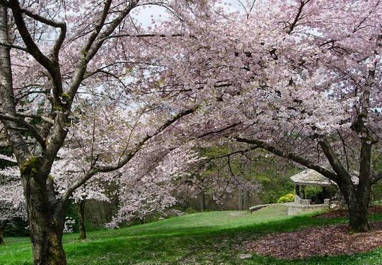 西雅图樱花与日本文化节