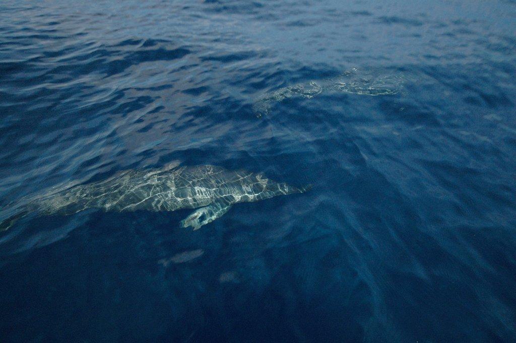 罗威那海豚