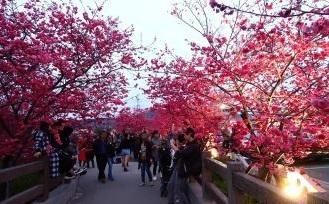 后里泰安樱花季