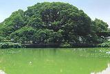大榕树景区
