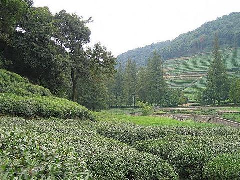 龙井问茶旅游景点图片