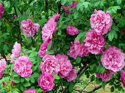 平阴玫瑰艺术节