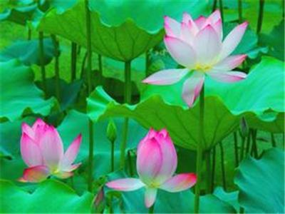 大明湖荷花艺术节