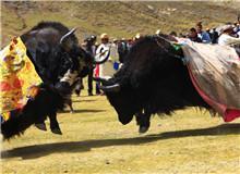 红原牦牛文化节