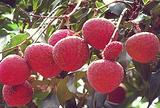 三月红荔枝