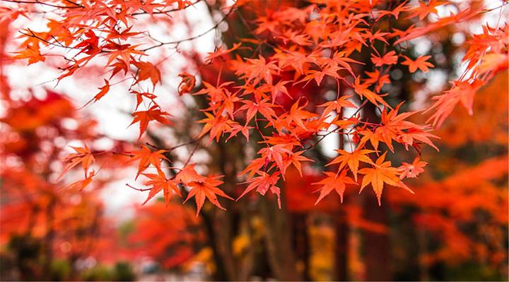 红叶谷旅游图片