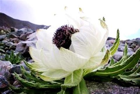 藏北雪莲花