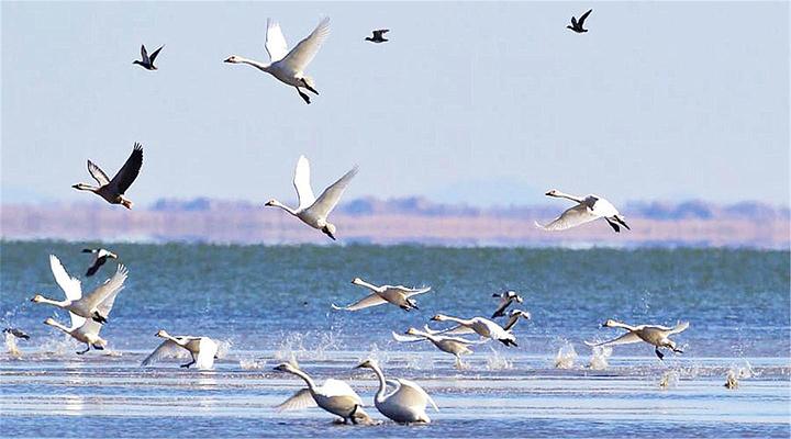 达里湖天鹅旅游图片