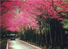 新北市樱花季