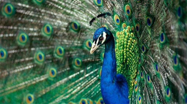 蓝孔雀旅游图片