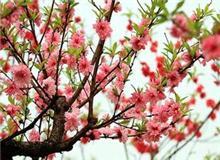无锡阳山桃花节