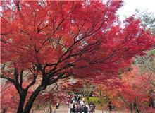 岚山红叶节