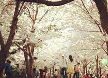 济州大樱花节 (제주 왕벚꽃축제)