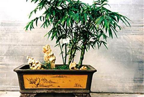 方竹紫竹盆景